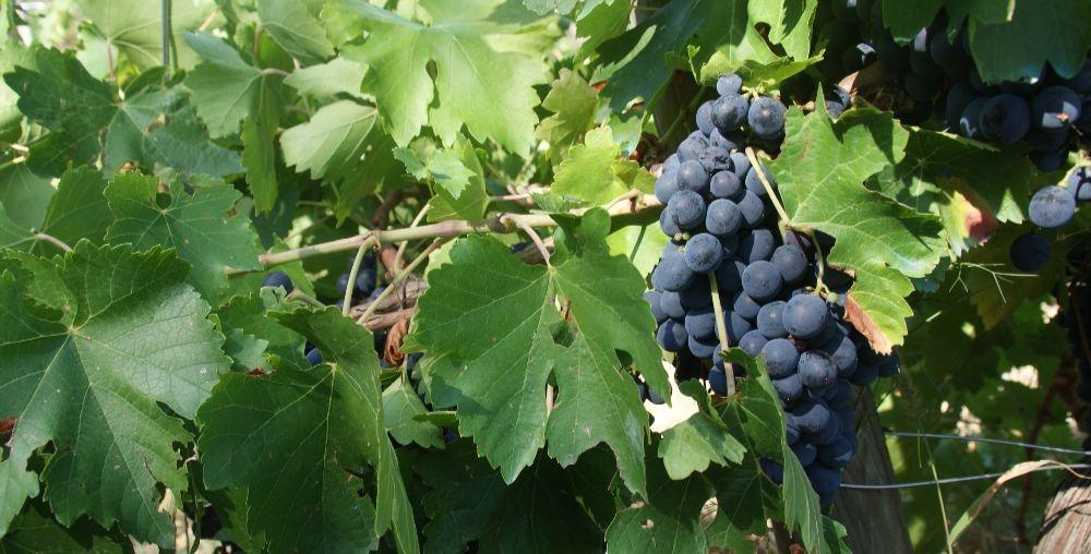 uva-suelos