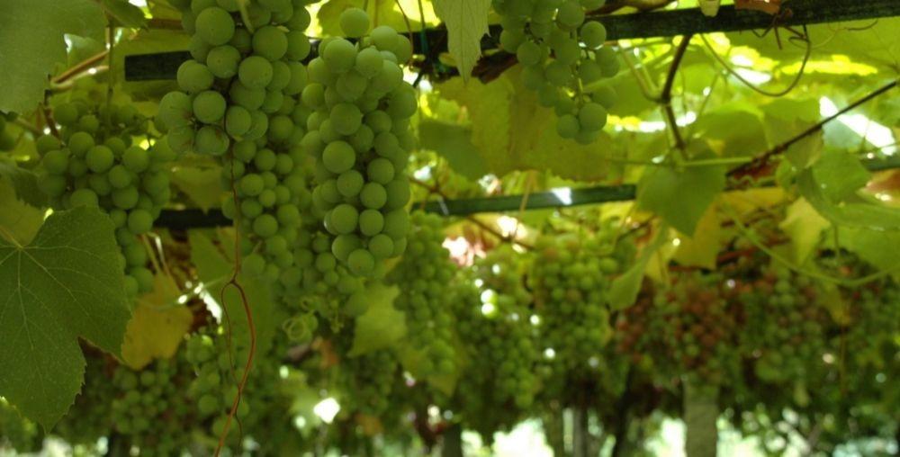 uvas-rias-baixas